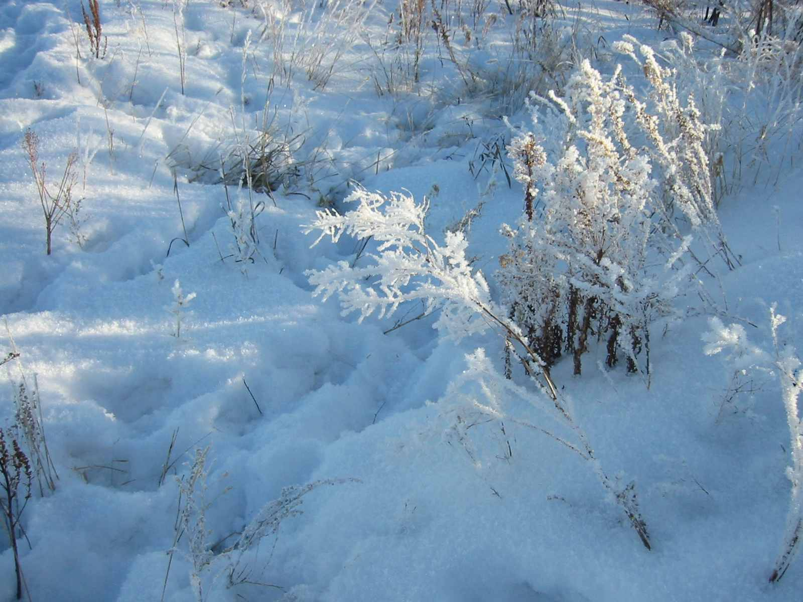 prarie grass in snow